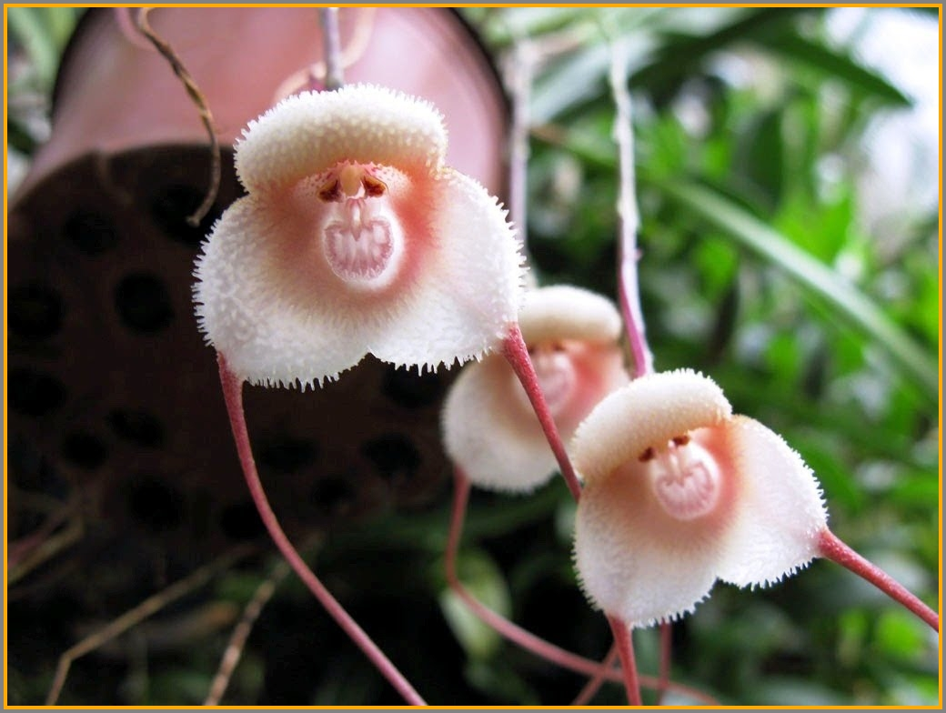 One of several varieties of monkey-face orchids.