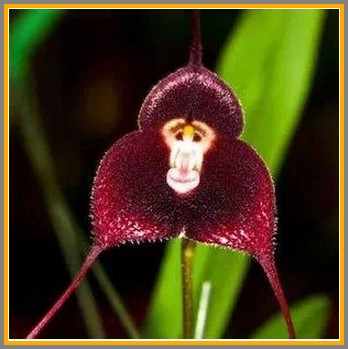 Yup. Another monkey-faced orchid.