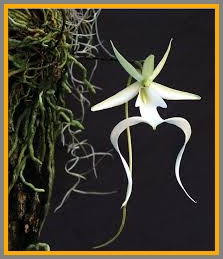 A ghost orchid.