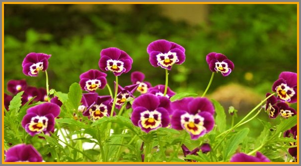 Some more curious pansies.