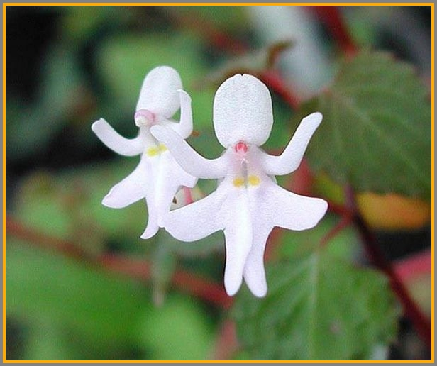 Here's an impatiens, looking an awful lot like a dancing girl in white.