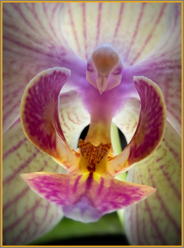 This is a pink moth orchid, which looks inside like a tiny bird.